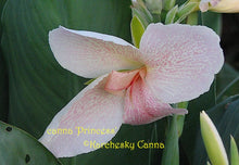 Load image into Gallery viewer, canna 'Princess'