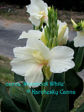 Load image into Gallery viewer, canna 'Shamrock White'
