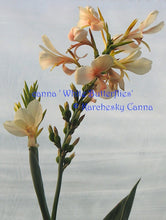 Load image into Gallery viewer, canna 'White Butterflies'