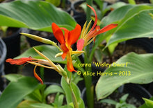 Load image into Gallery viewer, canna 'Wisley Dwarf'