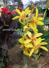Load image into Gallery viewer, canna 'Yellow Butterflies'