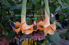 Load image into Gallery viewer, brugmansia 'Angel's Orange Drop'