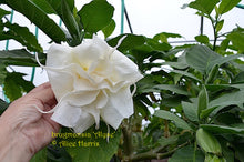 Load image into Gallery viewer, brugmansia 'Alyse'
