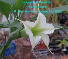 Load image into Gallery viewer, brugmansia 'Anoushka'