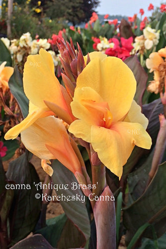 canna 'Antique Brass'
