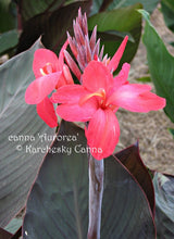 Load image into Gallery viewer, canna 'Aurorea'
