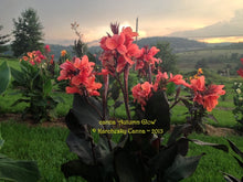 Load image into Gallery viewer, canna 'Autumn Glow'