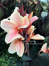 Load image into Gallery viewer, canna 'Belinda'