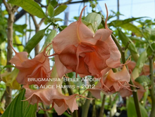 Load image into Gallery viewer, brugmansia 'Belle Amour'