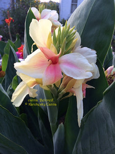 canna 'Beloved'