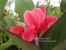 Load image into Gallery viewer, canna 'Ben's Pink'