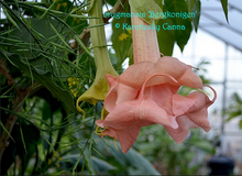 Load image into Gallery viewer, brugmansia 'Berkonigen'