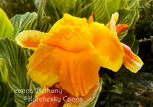 Load image into Gallery viewer, canna 'Bethany'