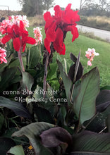Load image into Gallery viewer, canna 'Black Knight'
