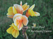 Load image into Gallery viewer, canna 'Burnt Opal'