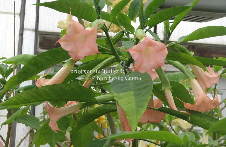 brugmansia 'Butterfly'