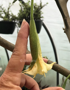 brugmansia 'Buttons'
