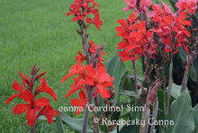 Load image into Gallery viewer, canna 'Cardinal Sinn'