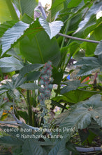 Load image into Gallery viewer, SEEDS: Castor Bean 'Carmencita Pink'
