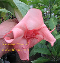 Load image into Gallery viewer, brugmansia 'Carousel'