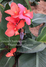 Load image into Gallery viewer, canna 'Chamaeleon'