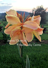 Load image into Gallery viewer, canna 'Chamois'
