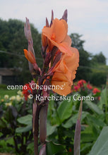 Load image into Gallery viewer, canna 'Cheyenne'