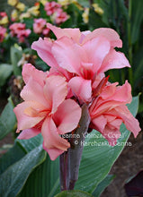 Load image into Gallery viewer, canna 'Chinese Coral'