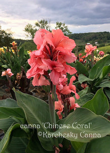 canna 'Chinese Coral'