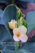 Load image into Gallery viewer, canna 'Creamy Stripes'