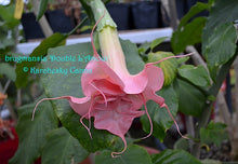 Load image into Gallery viewer, brugmansia 'Double L'Amour'