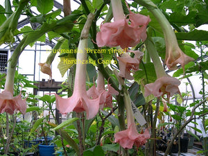 brugmansia 'Dream Angel'