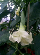 Load image into Gallery viewer, brugmansia 'Edna'
