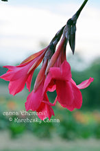 Load image into Gallery viewer, canna 'Ehemanii'