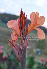 Load image into Gallery viewer, canna 'Evening Butterflies'