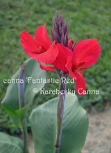Load image into Gallery viewer, canna 'Fantastic Red'