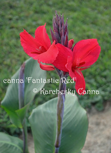 canna 'Fantastic Red'