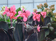 Load image into Gallery viewer, canna 'Futurity Pink'