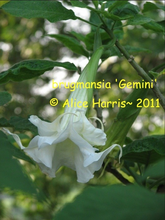 Load image into Gallery viewer, brugmansia 'Gemini'