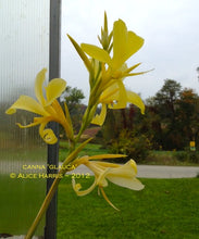 Load image into Gallery viewer, canna 'Glauca'