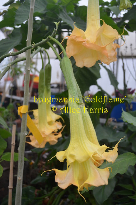 brugmansia 'Gold Flame'