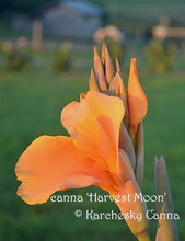 Load image into Gallery viewer, canna 'Harvest Moon'