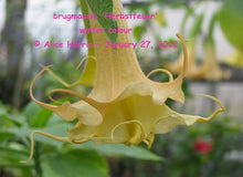 Load image into Gallery viewer, brugmansia 'Herbstfeuer'