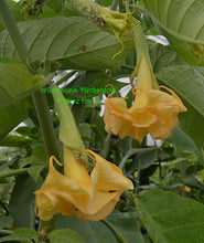 Load image into Gallery viewer, brugmansia 'Herbstgold'