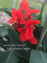Load image into Gallery viewer, canna 'Hot Tamalé'