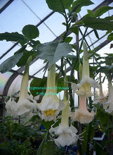 Load image into Gallery viewer, brugmansia 'Ice Princess'