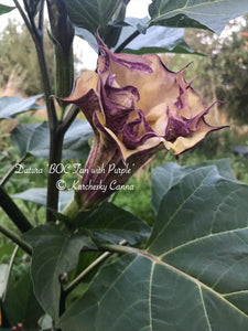 datura 'BOC: Double Tan with Purple'