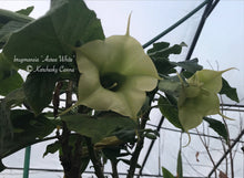 Load image into Gallery viewer, brugmansia 'Aurea White'