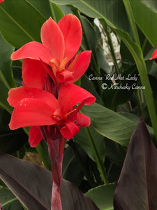 canna 'Red Hat Lady'