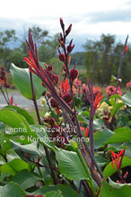 Load image into Gallery viewer, SEEDS: canna 'Warszewiczii'